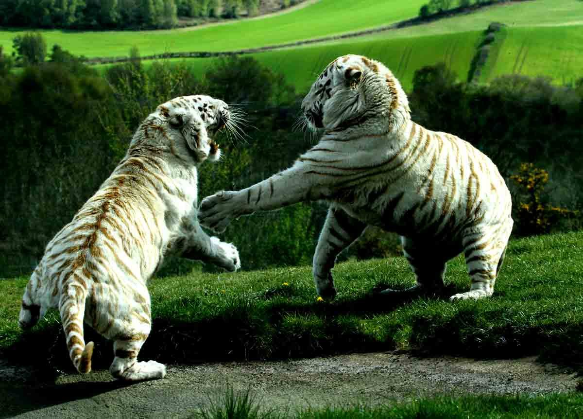 white tigers fighting 1 White Tiger