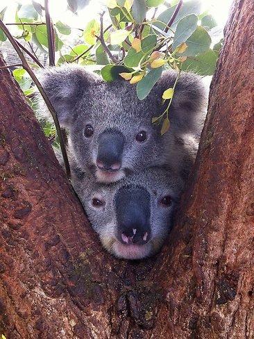 Cute alert! Koalas captured at Sydney's Taronga Zoo