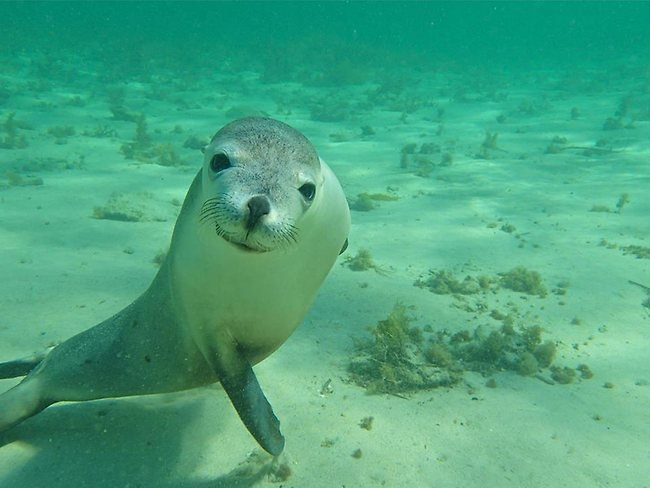 Swimming with the sea lion pups in Baird Bay