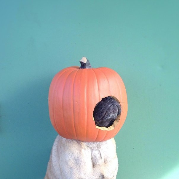 Beautiful Halloween Pet Costumes (27)