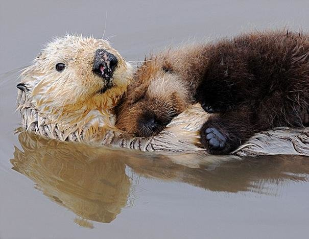 beautiful animals that use other animals for pillow  (29)
