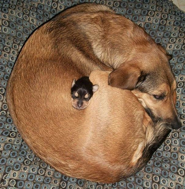 beautiful animals that use other animals for pillow  (12)