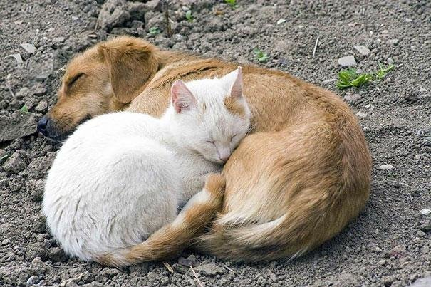 beautiful animals that use other animals for pillow  (11)