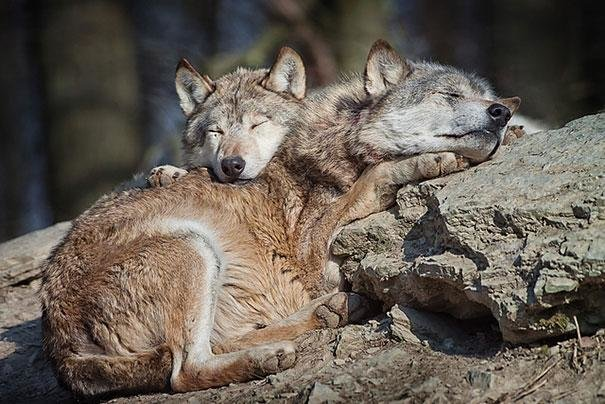 beautiful animals that use other animals for pillow  (10)