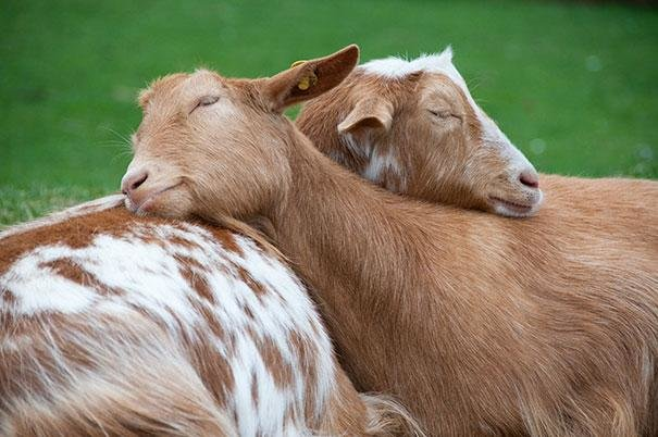 beautiful animals that use other animals for pillow  (6)