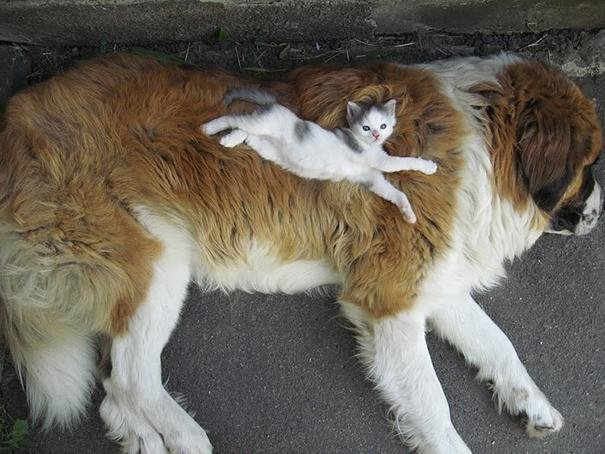 beautiful animals that use other animals for pillow  (4)