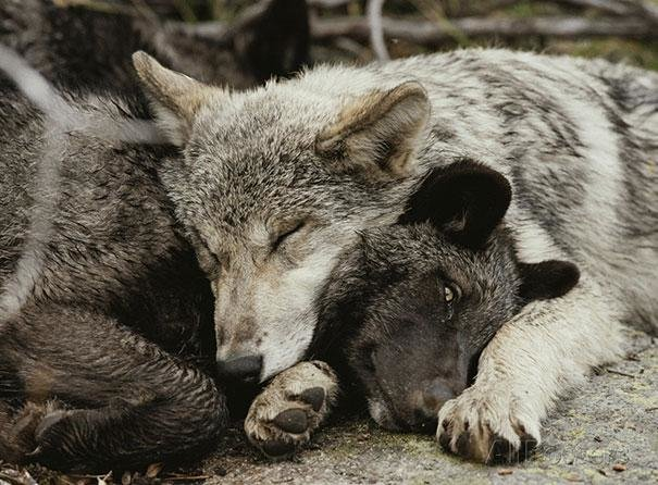 beautiful animals that use other animals for pillow  (21)