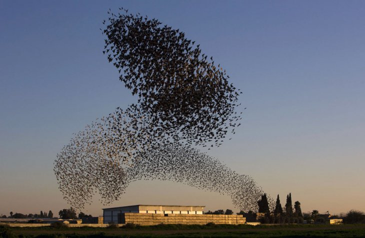 A flock of starlings fly over an agricultural field near the southern Israeli city of Netivot  (18)