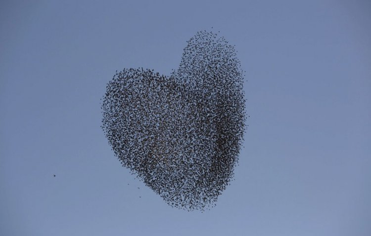A flock of starlings fly over an agricultural field near the southern Israeli city of Netivot  (9)
