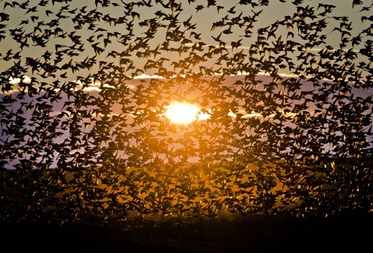 A flock of starlings fly over an agricultural field near the southern Israeli city of Netivot  (8)