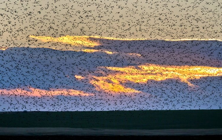 A flock of starlings fly over an agricultural field near the southern Israeli city of Netivot  (6)