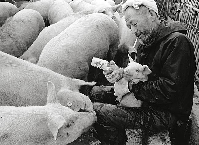 Farmer And His Pigs Friendship (9)