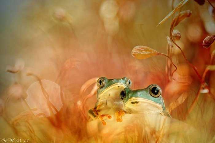 world of frogs in macrophotography (18)