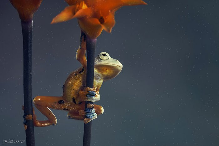 world of frogs in macrophotography (17)