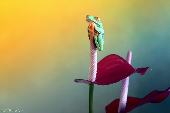 world of frogs in macrophotography (11)