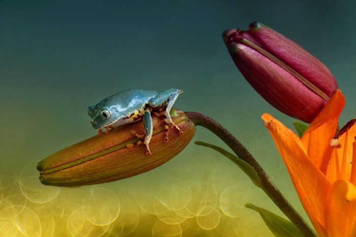 world of frogs in macrophotography (9)