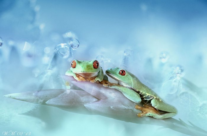 world of frogs in macrophotography (7)