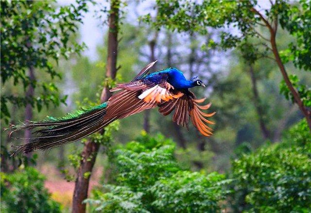 peacock+in+flight+5