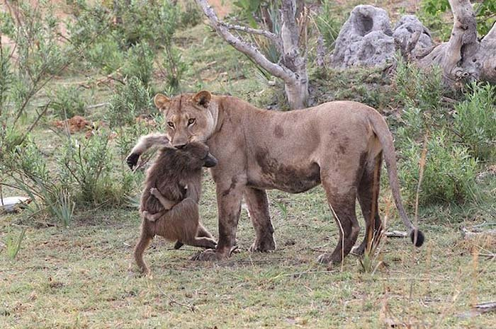 Lion and Baboon Interaction (10)