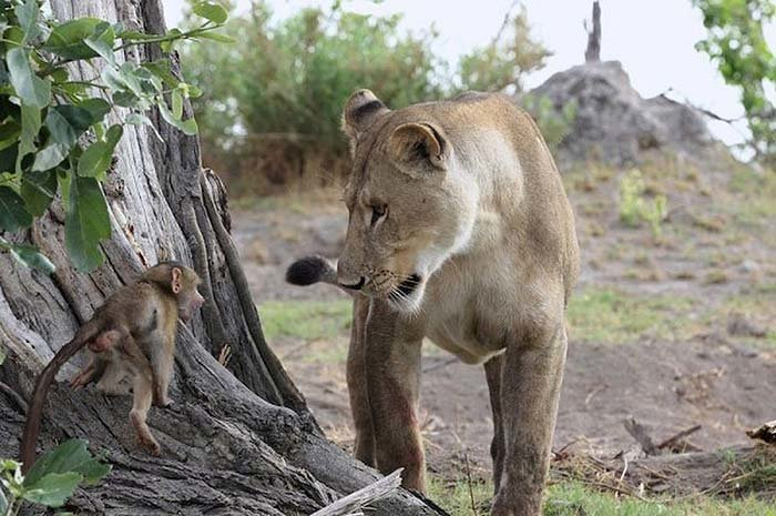 Lion and Baboon Interaction (8)