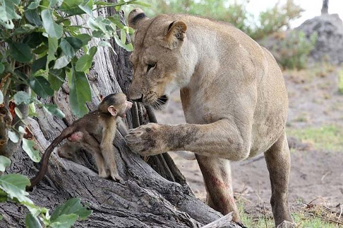 Lion and Baboon Interaction (7)