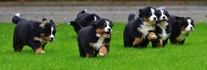 Outstanding Bernese Mountain Puppies Photography (13)