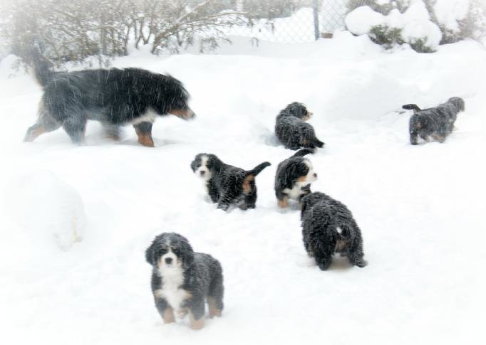 Outstanding Bernese Mountain Puppies Photography (14)