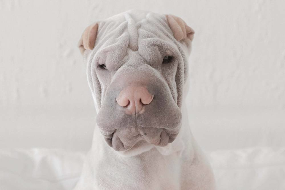 Paddington, the shar pei canine is so lovable it harms (12)