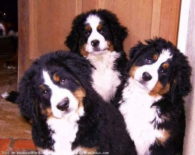 Outstanding Bernese Mountain Puppies Photography (16)