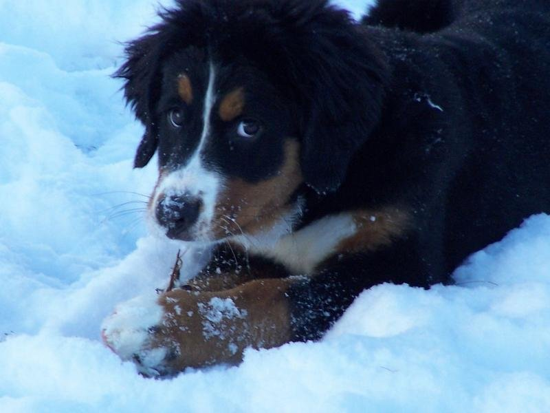 Outstanding Bernese Mountain Puppies Photography (9)