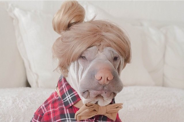 Paddington-The-Cute-Shar-Pei-who-loves-dressing-up-18