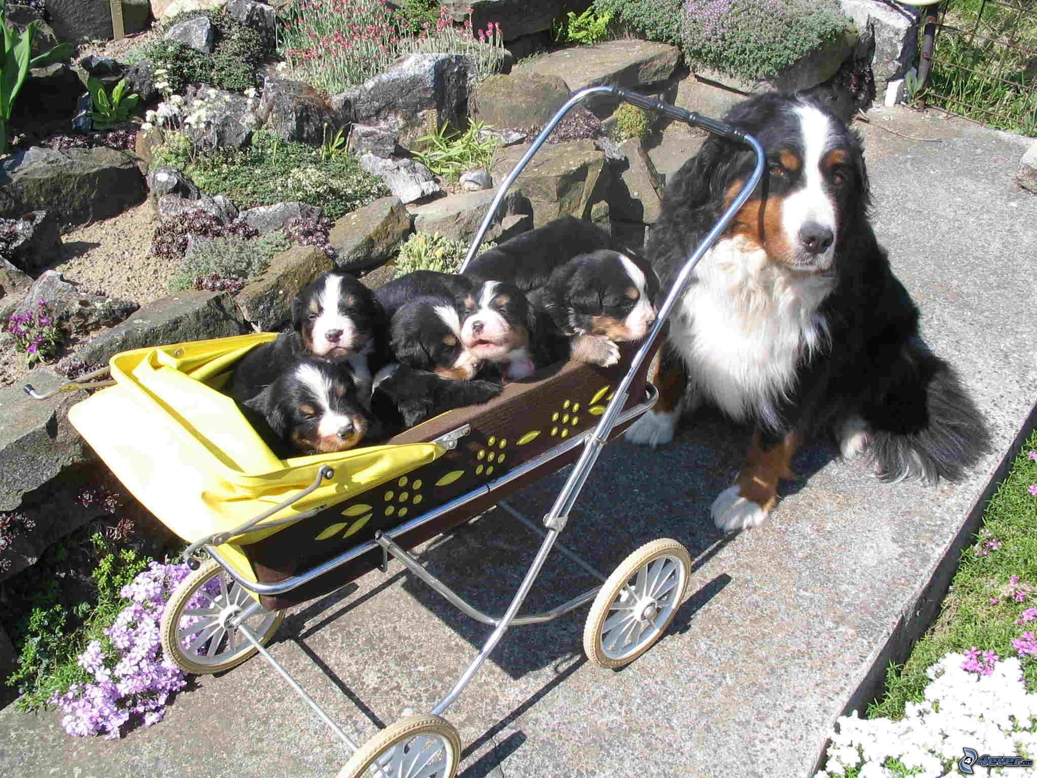 Outstanding Bernese Mountain Puppies Photography (7)
