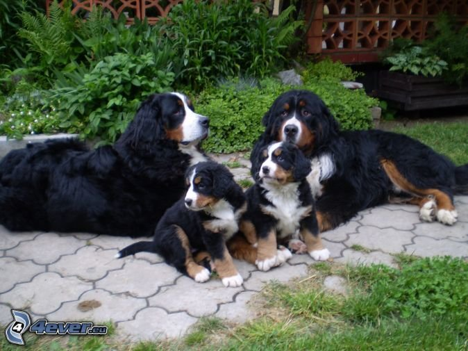 Outstanding Bernese Mountain Puppies Photography (6)