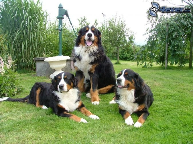 Outstanding Bernese Mountain Puppies Photography (4)