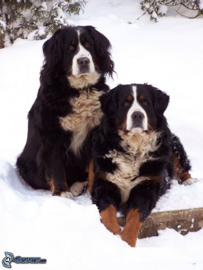 Outstanding Bernese Mountain Puppies Photography (3)