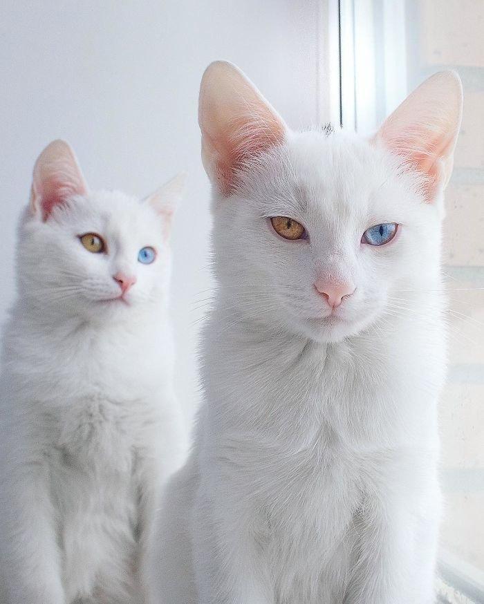 Heterochromatic Eyes Cat (12)