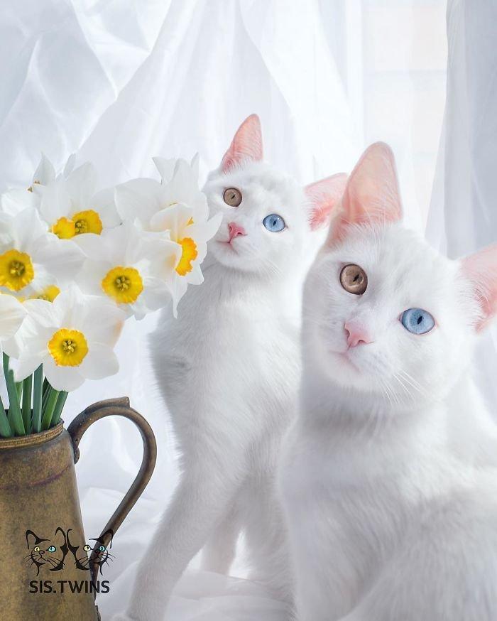 Heterochromatic Eyes Cat (5)