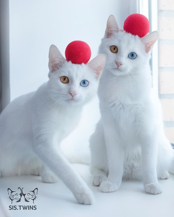 Heterochromatic Eyes Cat (3)