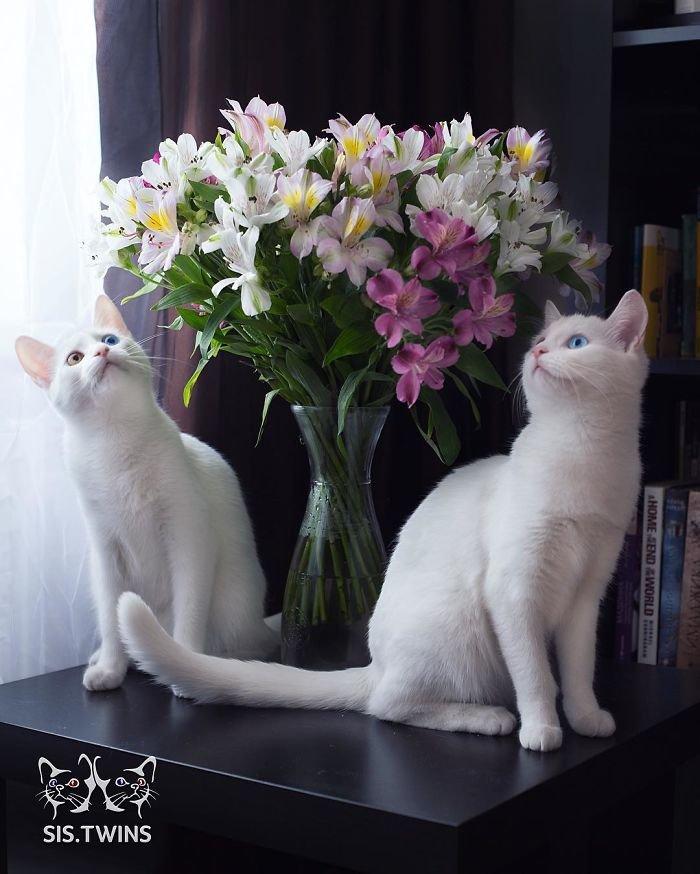Heterochromatic Eyes Cat (2)