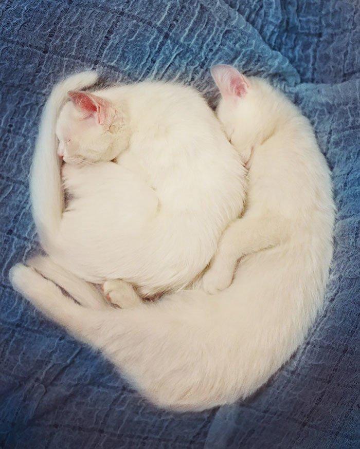 Heterochromatic Eyes Cat (1)