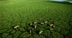A network of elephant trails bisects the green grasses of Lake Amboseli, at the center of Amboseli National Park.  The elephants migrate from the dry surrounding plains almost daily in the dry season to drink and graze.  A worldwide ban on the ivory trade has allowed Kenya's elephant population to rebound.
