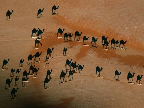 Shadows of Camels when walking landscape desert at sunset